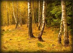 Birken-im-Herbst-find-the-fly-mushroom