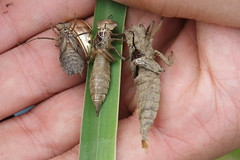 Exuviae - Three Species