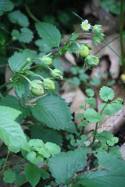 strawberry buds