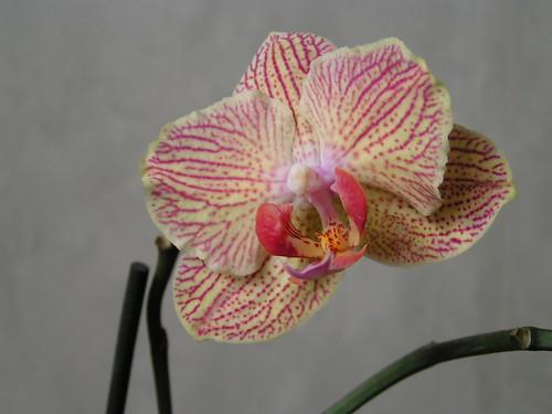oрхидея фаленопсис
