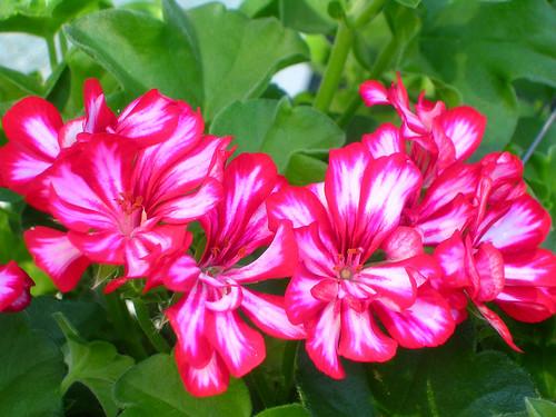 Ivy-Geranium-Blossoms