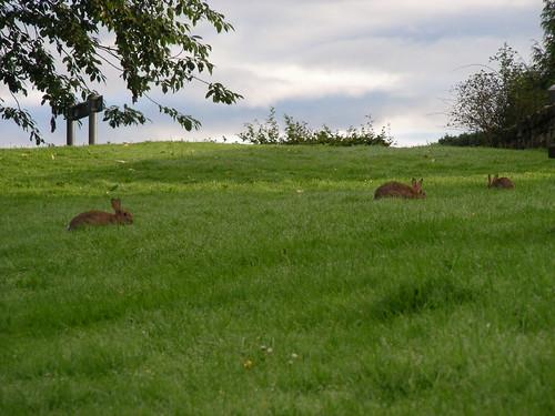 morning rabbits
