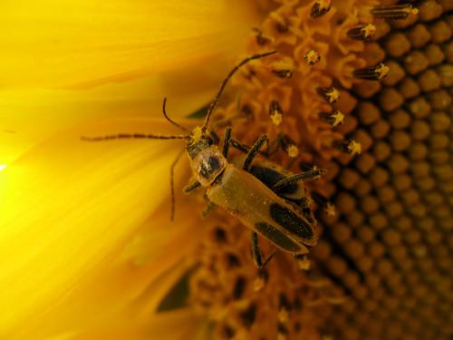 sunflower  - 3