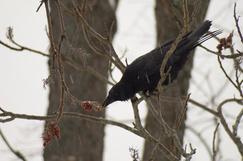 American Crow and Sumac