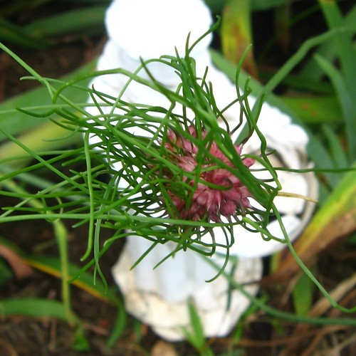 2011_06_20 - flowers 004.JPG - wild onion for Flickr
