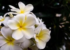 Plumeria, Honolulu