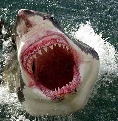 El tiburón blanco (3/3)