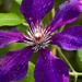 purple clematis flower square