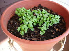 Regular basil seedlings