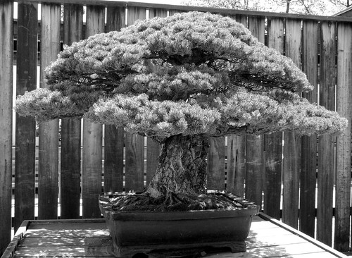 Oldest bonsai por winninator.