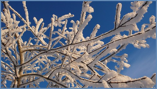 Frosty branches, midtown Anchorage.