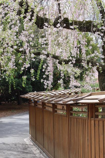 Cherry Trees at the Brooklyn Botanic Gardens