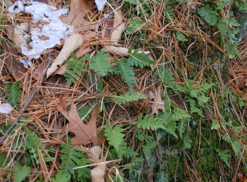 Rock Polypody, Polypodium virginianum