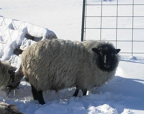 Kalus a shetland