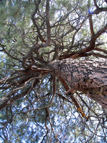 The Lawrence Tree, outside of Taos, New Mexico, February 2007, photo © 2007 by QuoinMonkey. All rights reserved.