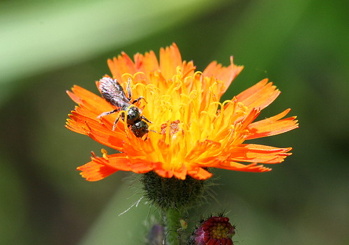 Orange Hawkweed with ant