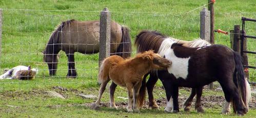 Pony's