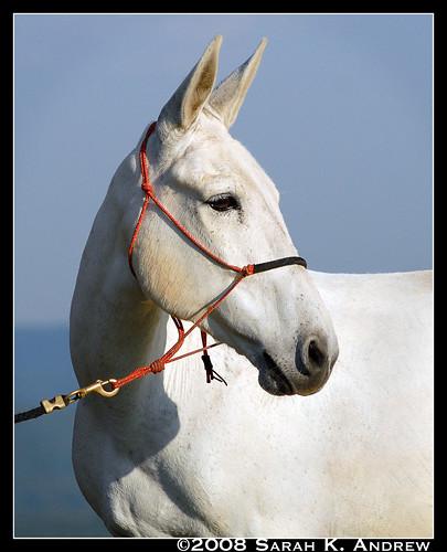 John the Mule