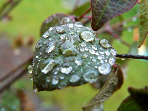 A leaf on the Katsura tree