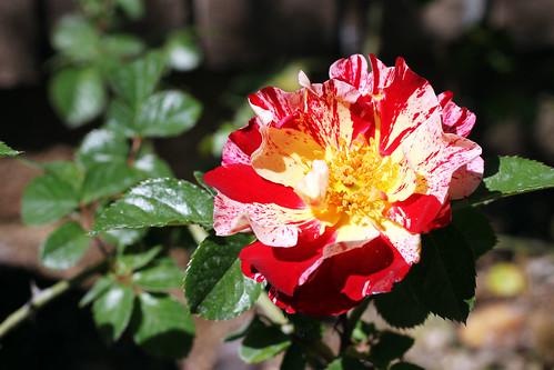 Firecracker-Rose2
