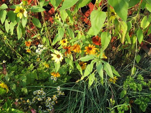 Sunflowers_0001