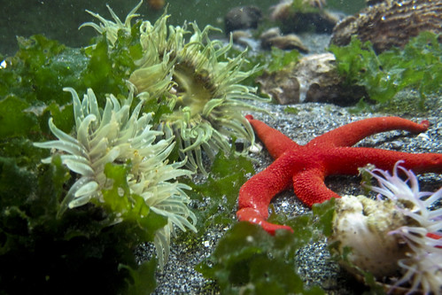 Green Burrowing Anemone and blood star