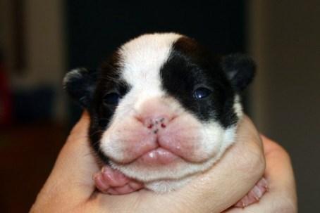 10 Day old French Bulldog puppy