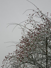 Rose hips in winter