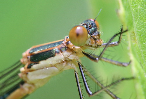 Emerald Spreadwing - female