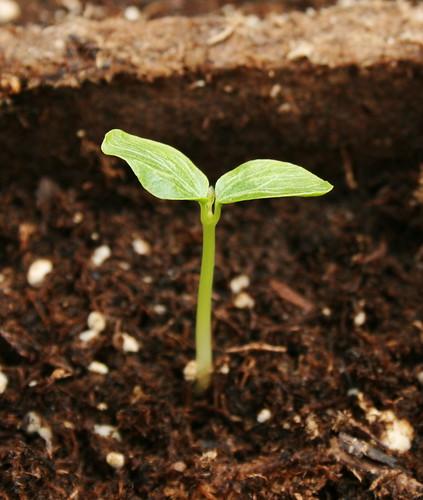 Papaya Sprout by Marlboro!.