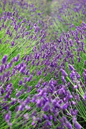 Purple Haze Lavender Farm, Sequim, Olympic Peninsula