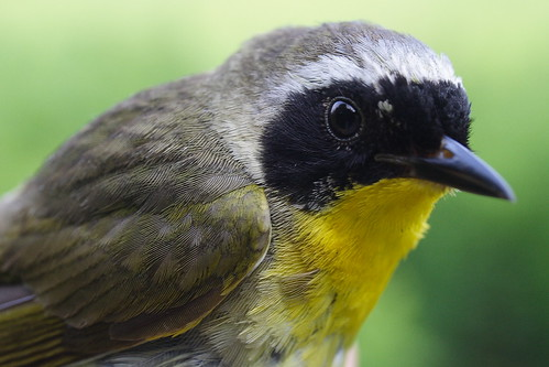 Common Yellowthroat - Adult Male