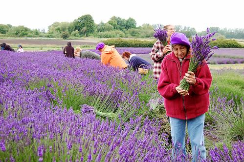 Jardin du Soleil Lavender, Sequim, Olympic Peninsula
