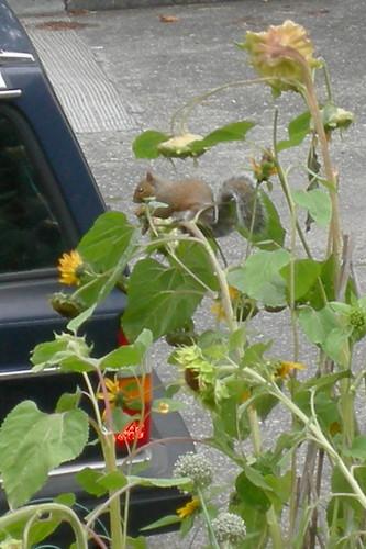 Sunflower Squirrel