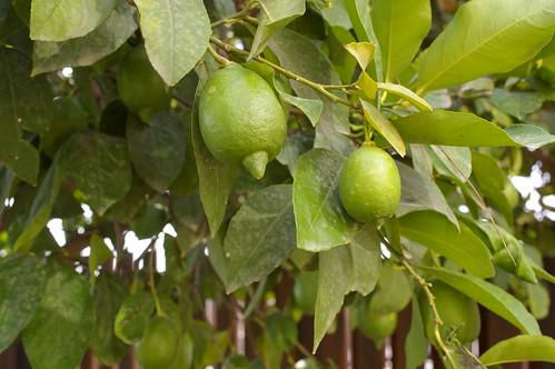 Backyard Citrus