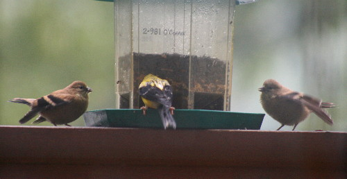 American Goldfinch male and fledglings