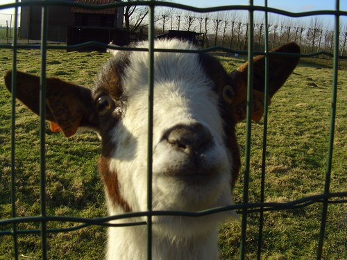 Hi, Im a goat!