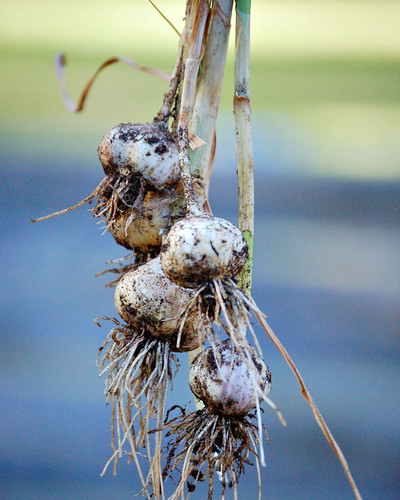 Itty bitty garlic