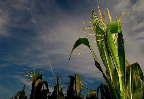 Late July Corn