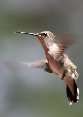 female blackchinned hummingbird