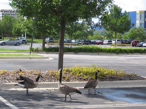 Geese at IKEA