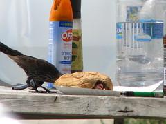 74 - Assateague - Bird Feasting - 20080804
