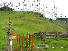 Cocora Palms