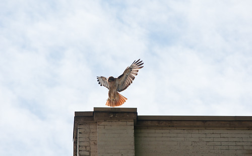 June 21st Red Tail Hawk series 1 of 9
