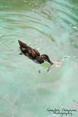 Swim duckie, swim!