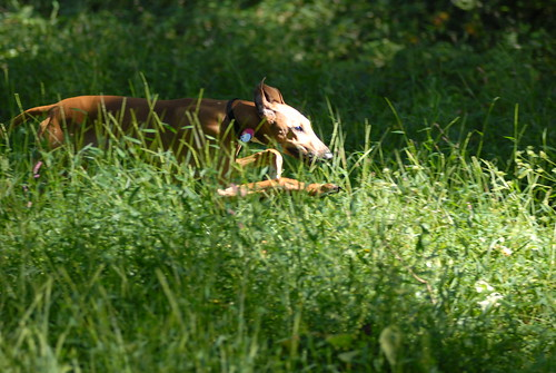 Tawzalt hurtling through tall grass.