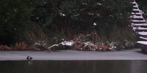 Duck tracks!
