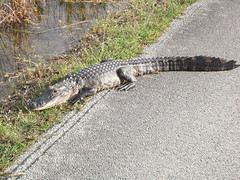 Alligator on the side of the road