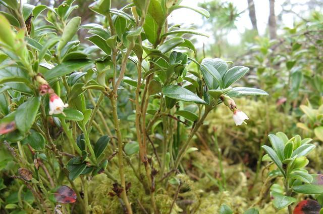 Cowberry (Vaccinium vitis-idaea)