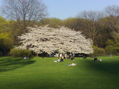 White tree at Sheep's Meadow in Central Park, one of my favorite spots to relax in the city for free